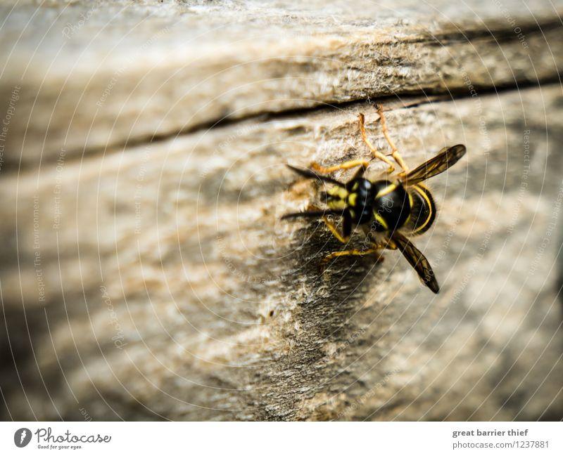 Wespe auf Futtersuche Tier Biene 1 Holz braun mehrfarbig gelb gold schwarz Wespen Flügel Außenaufnahme Nahaufnahme Detailaufnahme Makroaufnahme Experiment