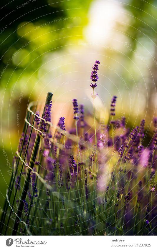aus meinem Garten ... elegant Stil harmonisch Erholung Natur Pflanze Schönes Wetter Blüte Wildpflanze Topfpflanze Lavendel Blütenstiel Unschärfe Lichtpunkt