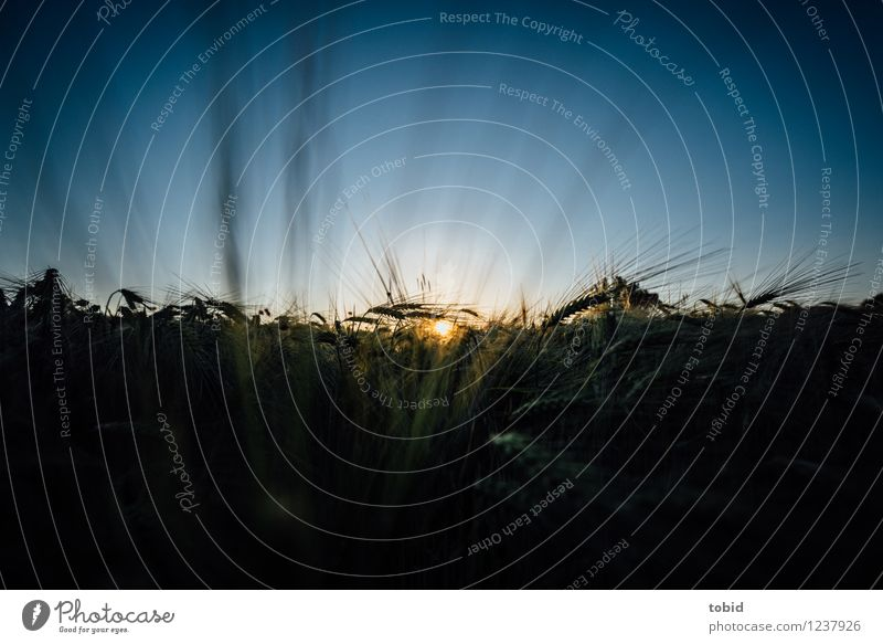 Spreedorado | Sunset Natur Landschaft Himmel Wolkenloser Himmel Horizont Sonnenaufgang Sonnenuntergang Sommer Schönes Wetter Pflanze Getreide Getreidefeld Ähren