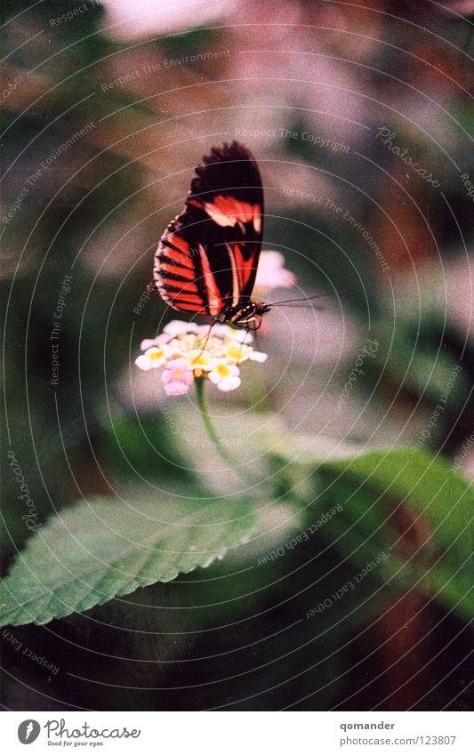 Butterfliege Schmetterling Blume Blatt rot weiß grün Tiefenschärfe Makroaufnahme Frühling Sommer Fühler Nahaufnahme schön orange Natur exotisch Flügel