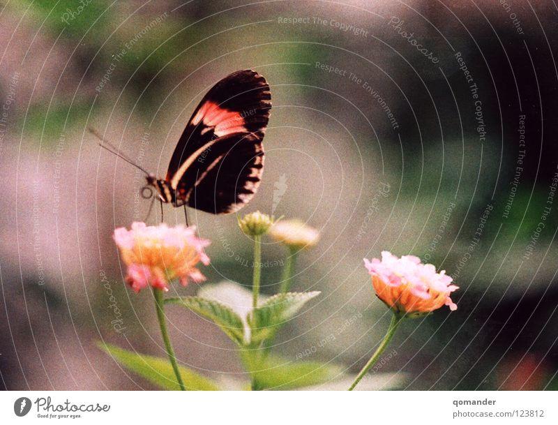 Ruhe Schmetterling Blume rot weiß grün Tiefenschärfe Makroaufnahme Frühling Sommer Fühler Nahaufnahme schön orange Natur exotisch Flügel