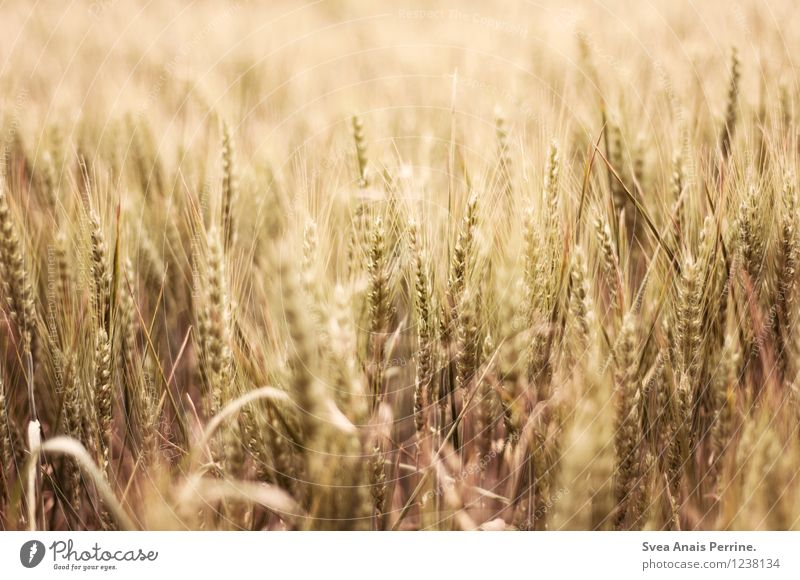 ernte. Umwelt Natur Sommer Schönes Wetter Feld leuchten Wachstum Freundlichkeit natürlich trocken Gefühle stagnierend Stimmung regional Ernte Kornfeld Getreide
