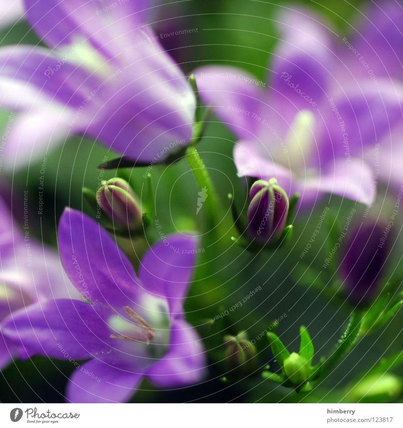 sun seeking bullets Blume Blüte weiß Blütenblatt Botanik Sommer Frühling frisch Wachstum Pflanze violett Hintergrundbild Makroaufnahme Nahaufnahme flower