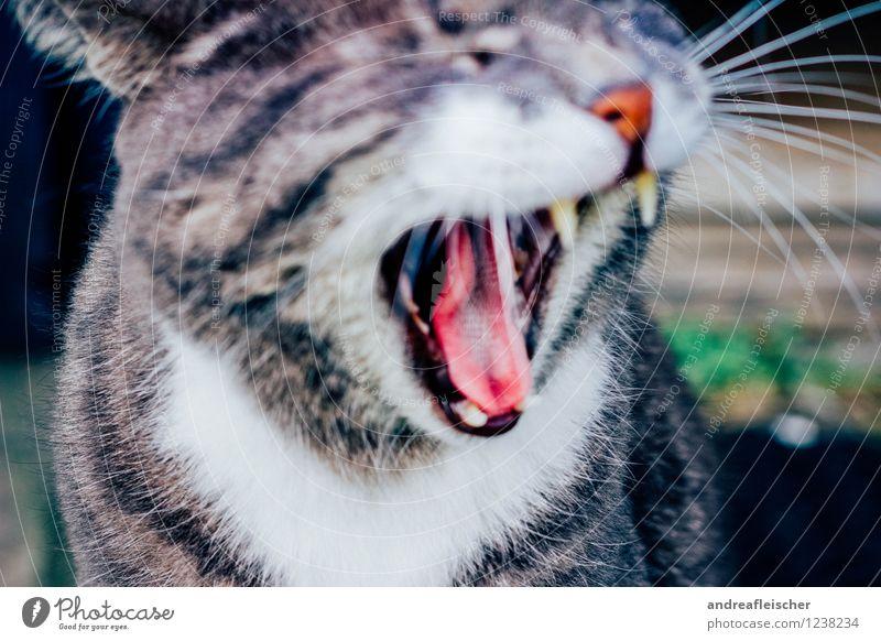 Gut gebrüllt Tiger. Katze Tier Gefühle grau Stimmung Angst elegant gefährlich bedrohlich Fell Gebiss Mut Appetit & Hunger Stress Haustier schreien