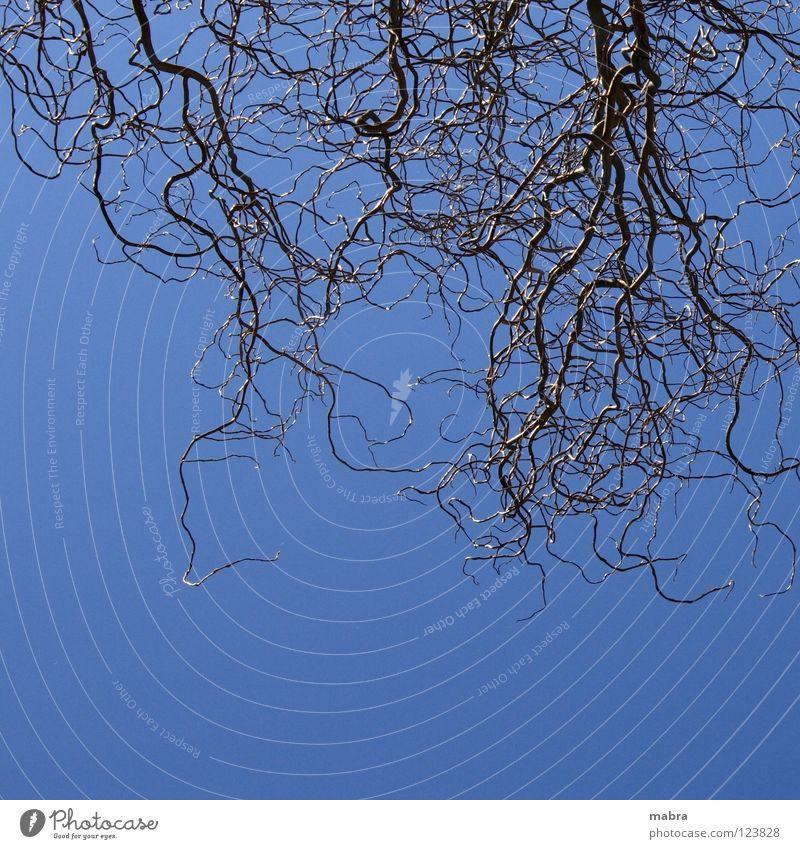 kreuz und quer verschlungen durcheinander Gegenlicht Korkenzieher-Weide unsicher Vernetzung Baum Kopfstand blau Himmel Linie Ast Strukturen & Formen Wegsuche
