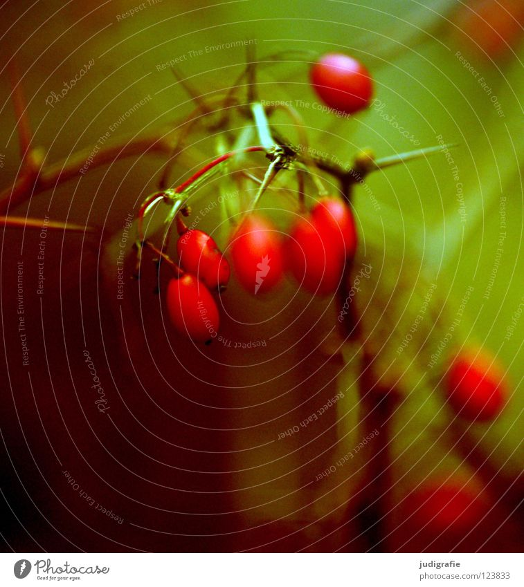 Rot Natur grün rot Winter Einsamkeit Farbe Herbst kalt Umwelt klein Frucht nass Sträucher zart Tee Zweig