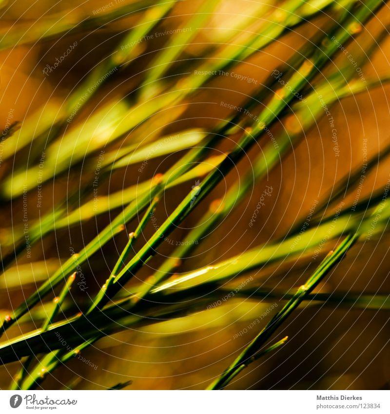 Schilf grün rot Wiese Gras orange Hintergrundbild Brand Stengel Schilfrohr Echte Farne Lichtpunkt feurig Ginster