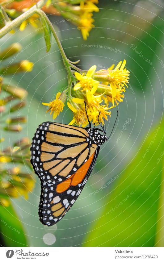 Monarchfalter an Wandelröschen exotisch Tier Schmetterling 1 ästhetisch positiv braun mehrfarbig gelb gold grün tagfalter Insekt Zoologie tropisch lantana