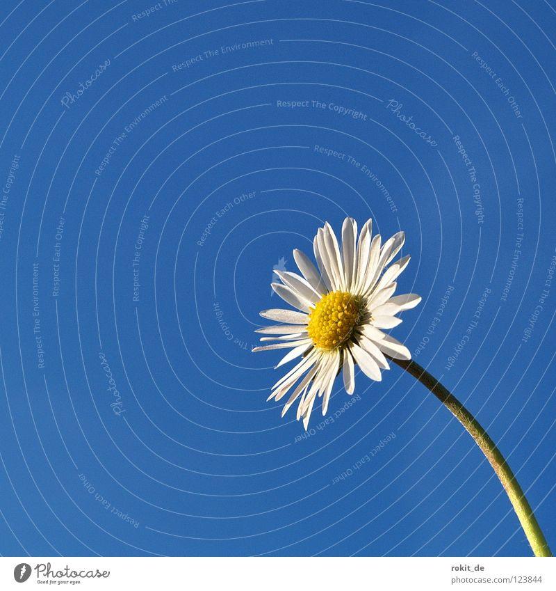 Frühlingsgefühle blau weiß Blume Freude Einsamkeit gelb Wiese Frühling Blüte Wachstum Schönes Wetter Stengel Gänseblümchen steigen Blauer Himmel Blütenblatt