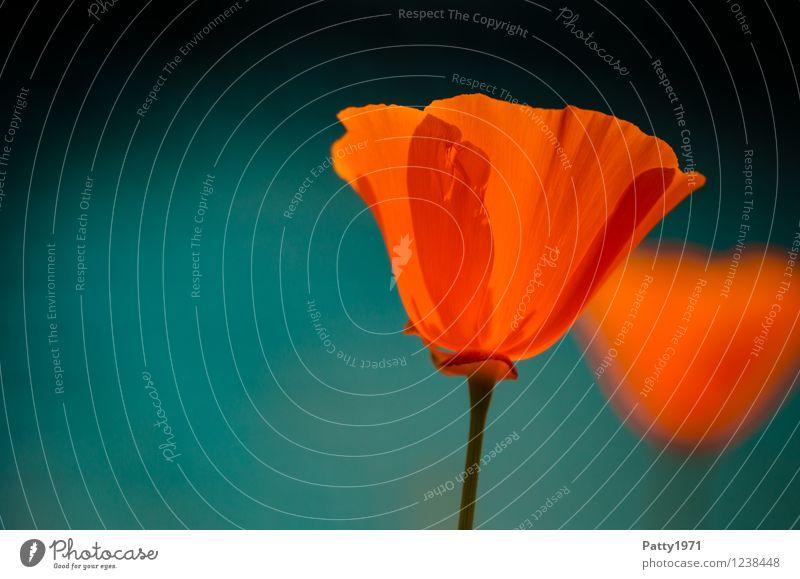 Goldmohn I Natur Pflanze Frühling Sommer Blume Blüte Wildpflanze Mohn Mohnblüte escholzia californica Blühend leuchten ästhetisch orange rot Stimmung