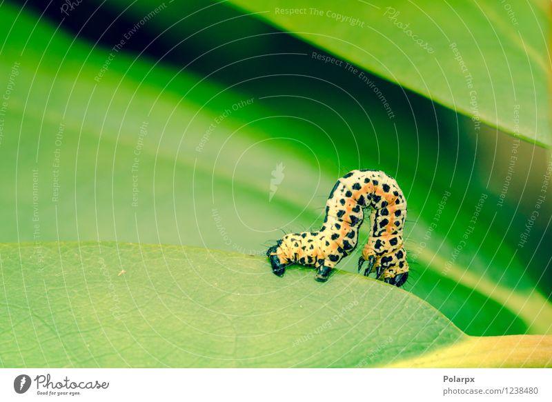 Erannis Defoliaria Raupe schön Garten Natur Tier Blume Blatt Wald Schmetterling Wurm Wachstum klein grün schwarz weiß Farbe Flecken farbenfroh orange Insekt