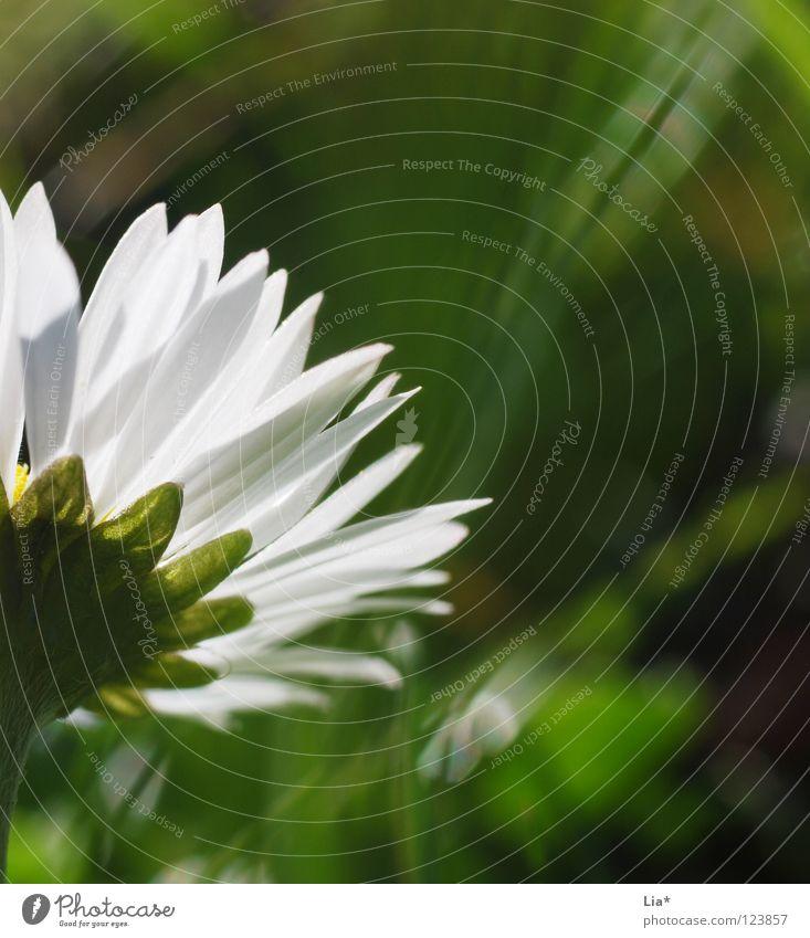 der Sonne entgegen... weiß Blume grün Sommer Wiese Blüte Gras Frühling Beleuchtung Kraft klein frisch Wachstum rein zart Blühend
