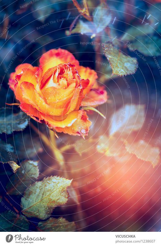 Gelb orange Rose Lifestyle Stil Design Garten Feste & Feiern Natur Pflanze Sonnenaufgang Sonnenuntergang Sommer Herbst Schönes Wetter Blume Blatt Blüte Park