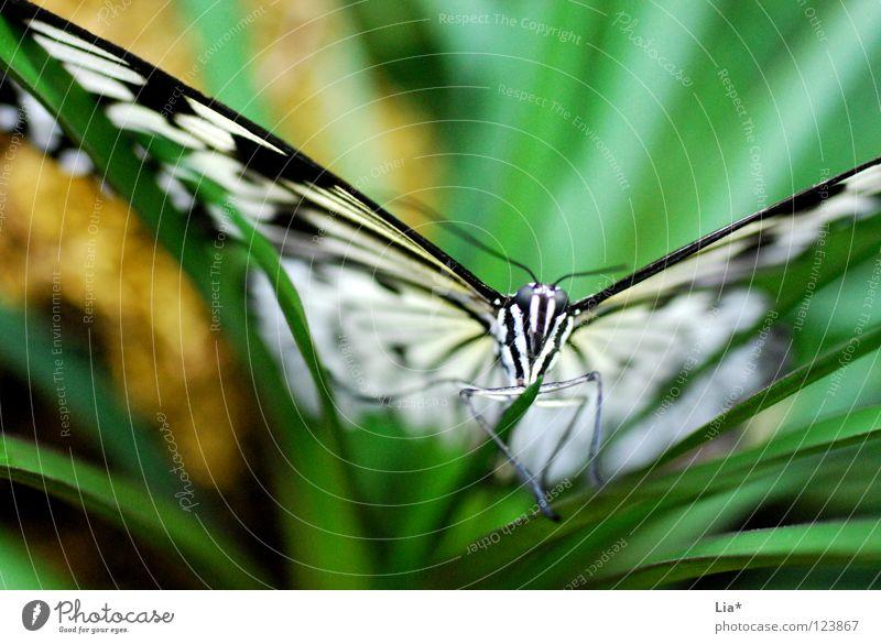 beflügelnd schön Natur Blatt Schmetterling Flügel Streifen fliegen sitzen grün schwarz weiß leicht fein Fühler Insekt zierlich Nahaufnahme Detailaufnahme
