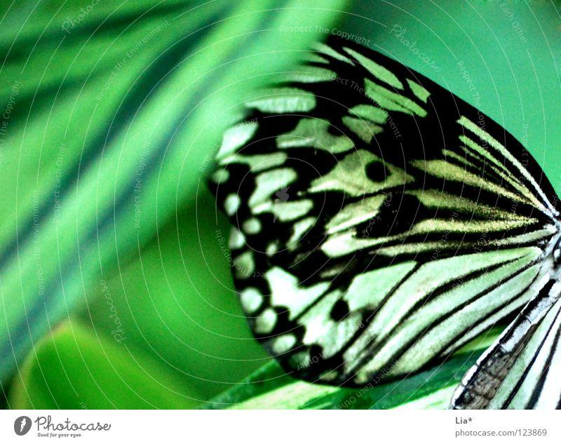 versteckt schön Natur Blatt Schmetterling Flügel Streifen sitzen weich gelb grün schwarz weiß leicht fein Tarnung Insekt Versteck verstecken Punkt Nahaufnahme