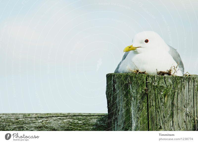 Besorgt. Umwelt Natur Tier Himmel Schönes Wetter Dänemark Vogel Möwe 1 Pfosten Zaun Holz ästhetisch natürlich blau grün weiß Gefühle Wachsamkeit brütend