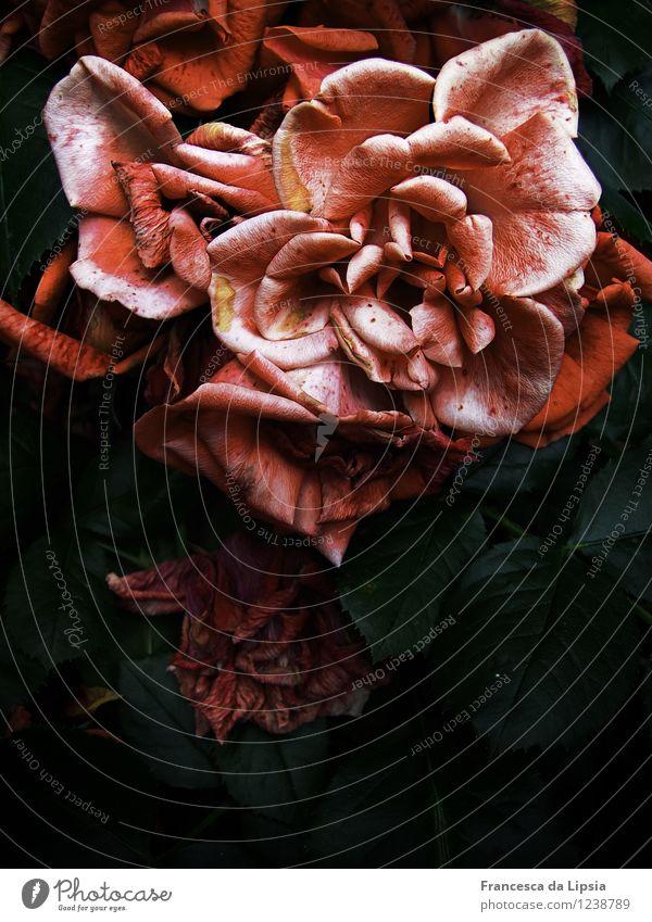 Dunkle Rose elegant Duft Sommer Garten Natur Pflanze Blume Sträucher Blatt Blüte Grünpflanze alt Blühend verblüht dehydrieren dunkel einfach nah grün rosa rot