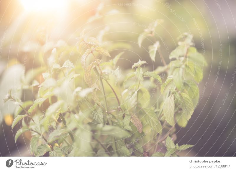 Sommerminze Ernährung Pflanze Schönes Wetter Blatt Grünpflanze Nutzpflanze Topfpflanze Minze Minzeblatt Blühend hell frisch Zutaten Balkonpflanze Farbfoto