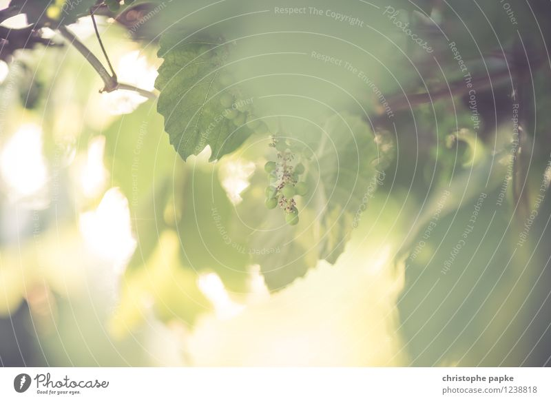 Sommerwein Ernährung Wein Pflanze Schönes Wetter Blatt Grünpflanze Nutzpflanze Wildpflanze Blühend Wachstum hell Farbfoto Gedeckte Farben Außenaufnahme