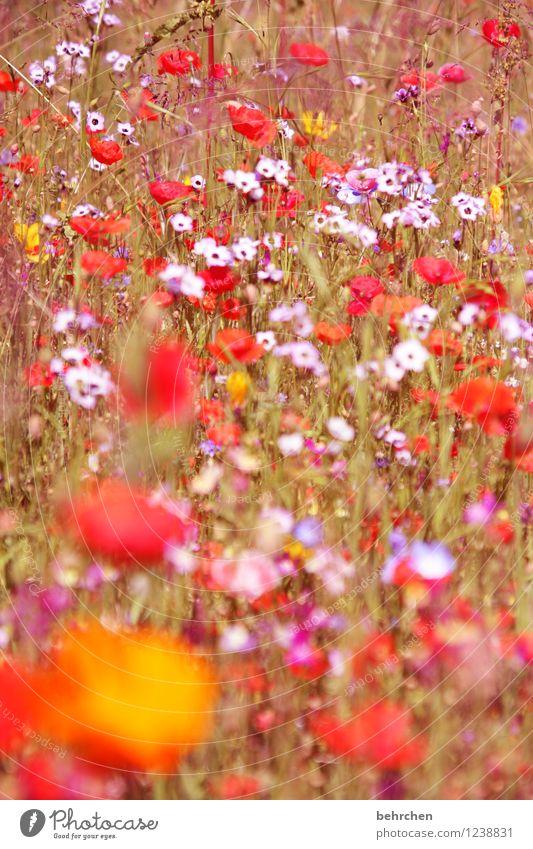 noch immer mo(h)nday Natur Pflanze schön Sommer Blume rot Blatt Blüte Frühling Wiese Herbst Gras Garten Park orange Feld