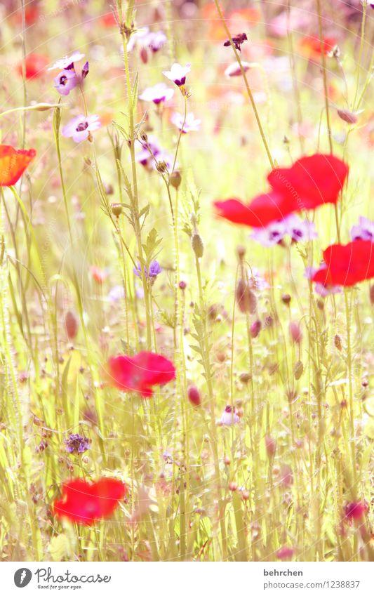 es mo(h)ntagt wieder Natur Pflanze Frühling Sommer Schönes Wetter Blume Gras Blatt Blüte Wildpflanze Mohn Garten Park Wiese Wildtier Biene Flügel Blühend Duft