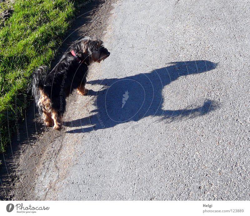200....Blick zurück... grün Sonne schwarz Straße Wiese Hund grau Gras klein Beine braun groß Nase Spaziergang Ohr Fell
