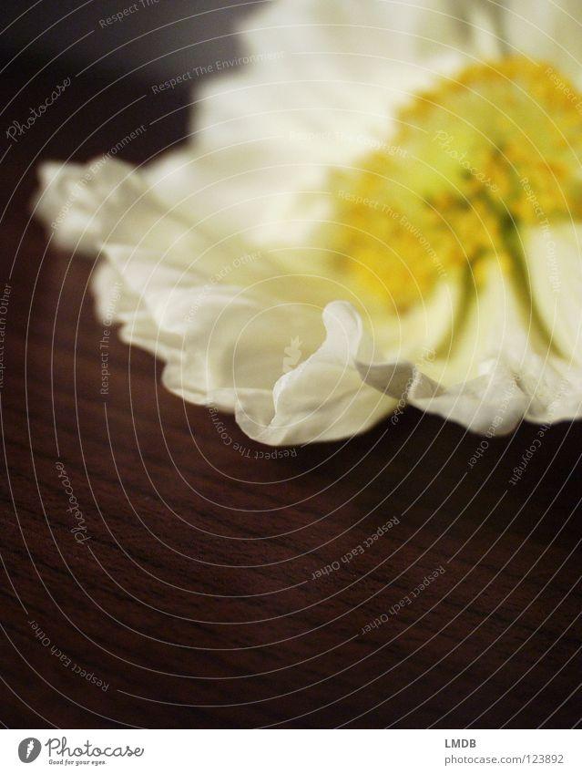 zart Mohn Mohnblüte Blume Blüte weiß gelb Pollen Staubfäden Pflanze Blühend Frühling Sommer Holz Oberfläche fein leicht luftig Wellen wellig gefaltet