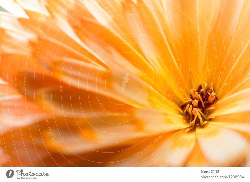 Herzlich Umwelt Natur Pflanze Sonnenlicht Frühling Sommer Schönes Wetter Blume Blüte Garten Park ästhetisch authentisch schön orange Glückwünsche