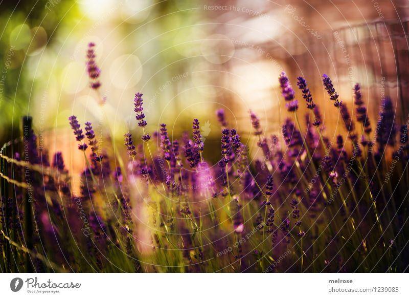 funkel funkel elegant Stil Natur Pflanze Sommer Schönes Wetter Blume Blüte Wildpflanze Topfpflanze Lavendel Blütenstiel Garten Maschendrahtzaun Unschärfe