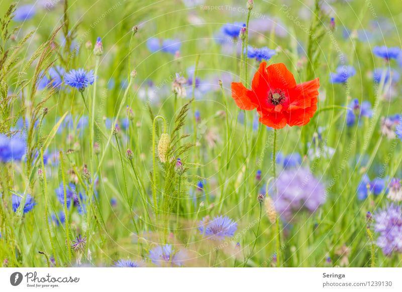 Single sucht.... Umwelt Natur Landschaft Pflanze Tier Sonne Sonnenlicht Sommer Blume Gras Wiese Feld verblüht Wachstum Mohn Mohnblüte Mohnfeld Farbfoto