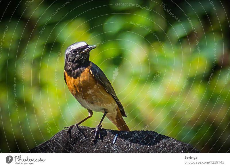 Gartenrotschwanz Natur Pflanze Sommer Landschaft Tier Umwelt fliegen Vogel Feder Flügel Tiergesicht
