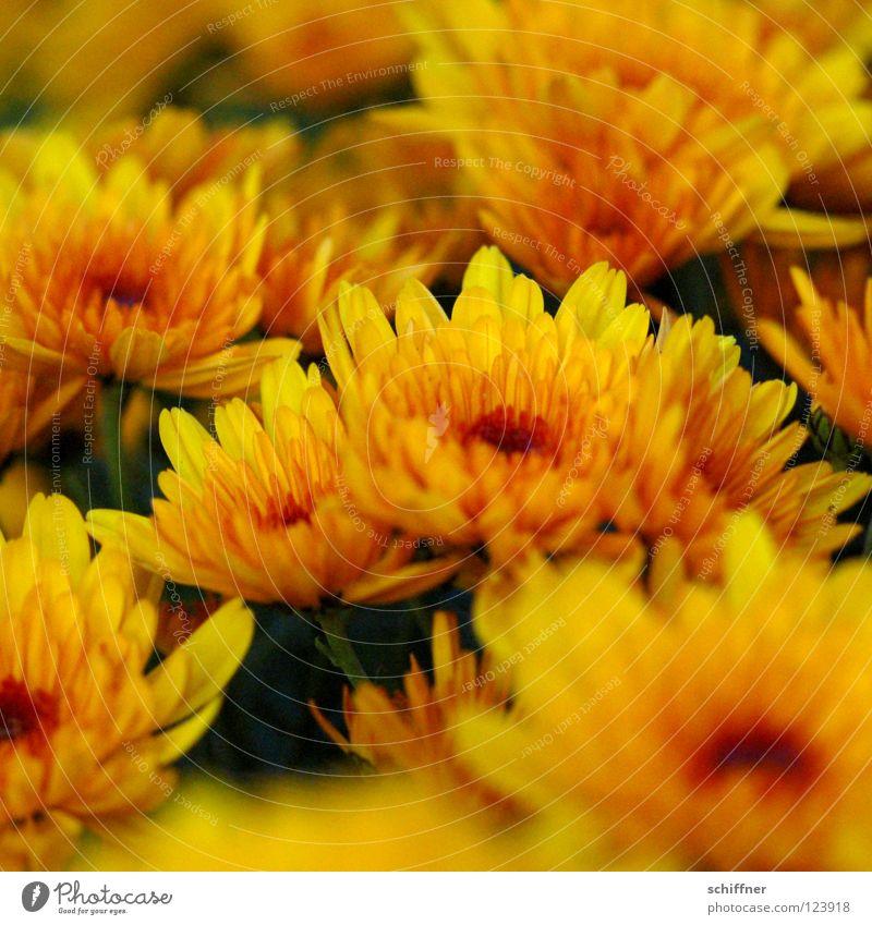 Meer Blumen Chrysantheme Blüte Pflanze Zierpflanze Heilpflanzen Stauden gelb rot zart mystisch tiefgründig aufmachen Muster Vergänglichkeit Sommer Herbst