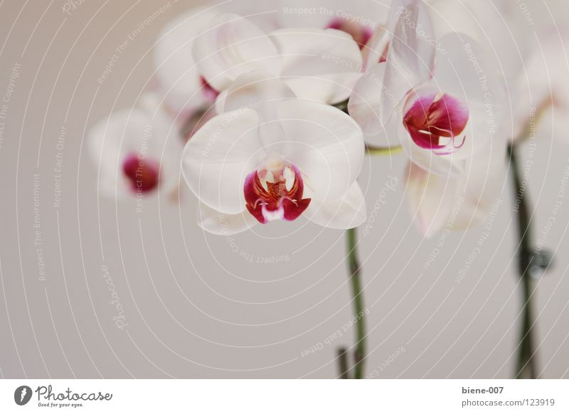 Orchideen Blume Orchidee
