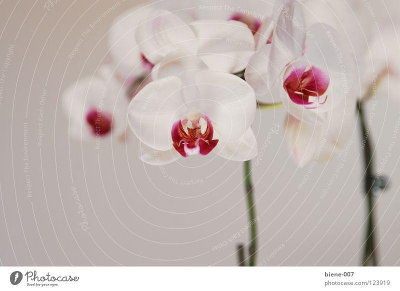 Orchideen Blume