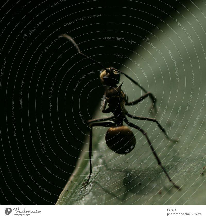 goldige ameise Tier Blatt dunkel niedlich Ameise Insekt Fühler Asien Singapore Nahaufnahme Makroaufnahme Schatten Beine