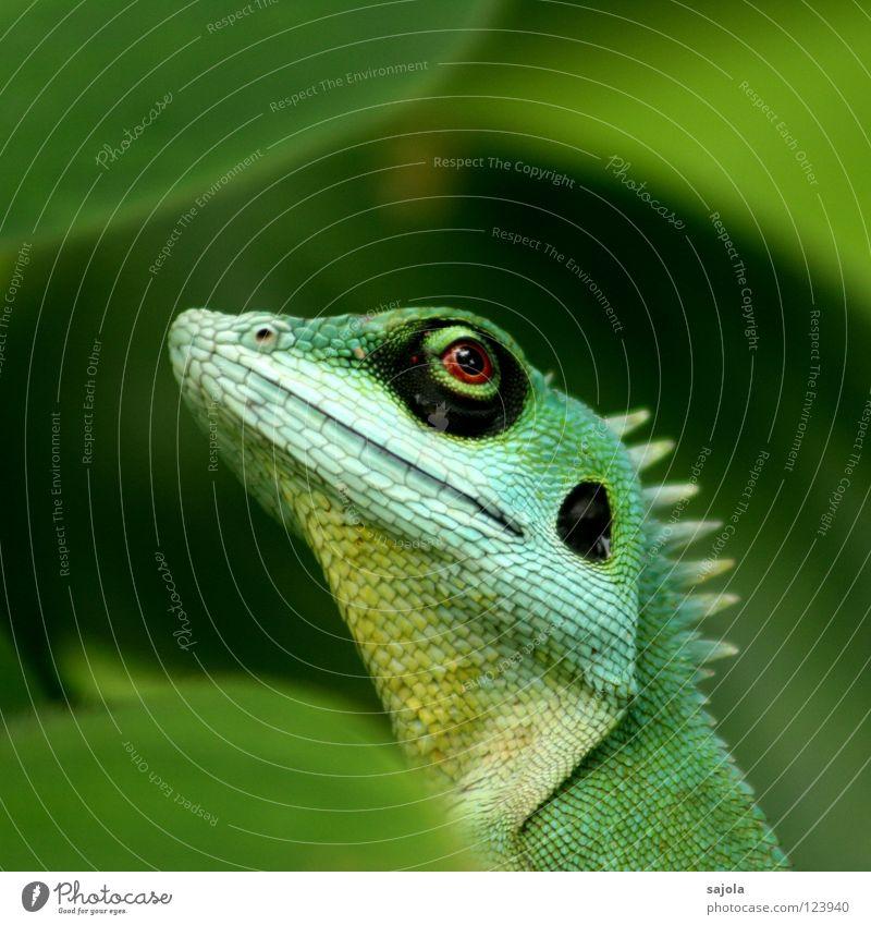 agame III Tier Urwald lang grün Wachsamkeit Agamen Echte Eidechsen Reptil Asien Kreis Botanischer Garten Blick Auge Perspektive