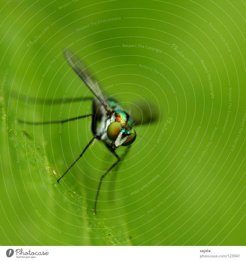 stelzenbeinfliege Tier Blatt Auge Kopf Beine Fliege Flügel Asien dünn Insekt Urwald Pfosten Singapore Facettenauge