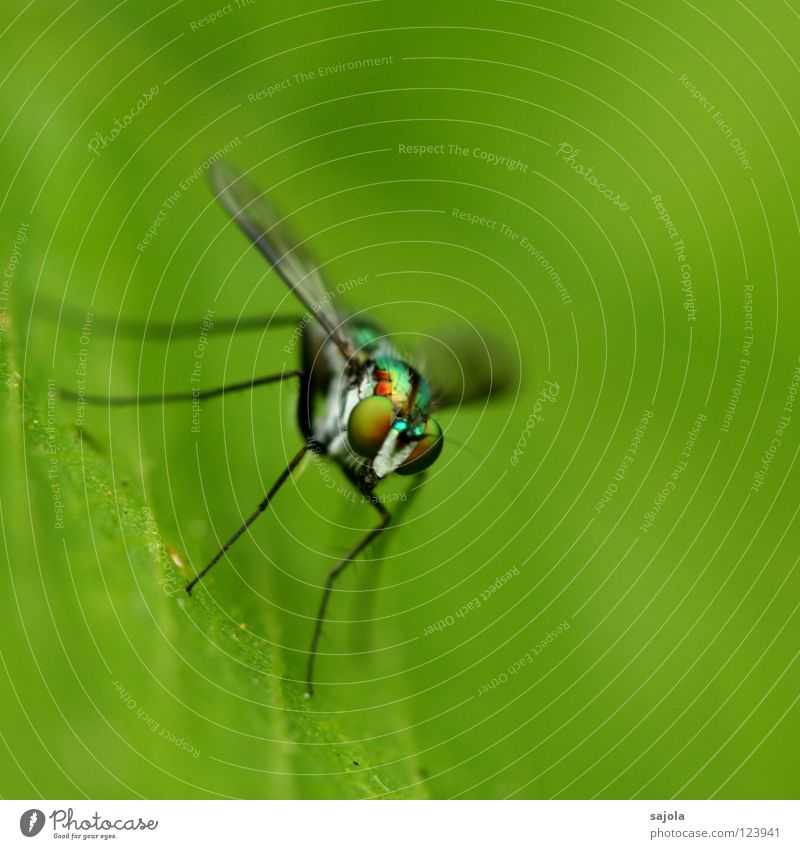 stelzenbeinfliege Urwald Fliege Flügel dünn Insekt Facettenauge Singapore Asien Pfosten Nahaufnahme Makroaufnahme Auge Tier Blatt Beine Kopf