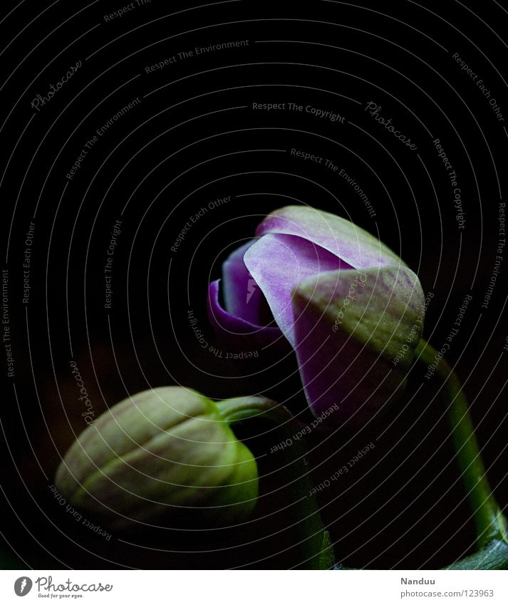 So früh schon aufstehen? Pflanze Blume dunkel Blüte geschlossen Zukunft Blühend Vergänglichkeit Kultur Leidenschaft Blütenknospen Ackerbau Erwartung Orchidee Geburt aufwachen