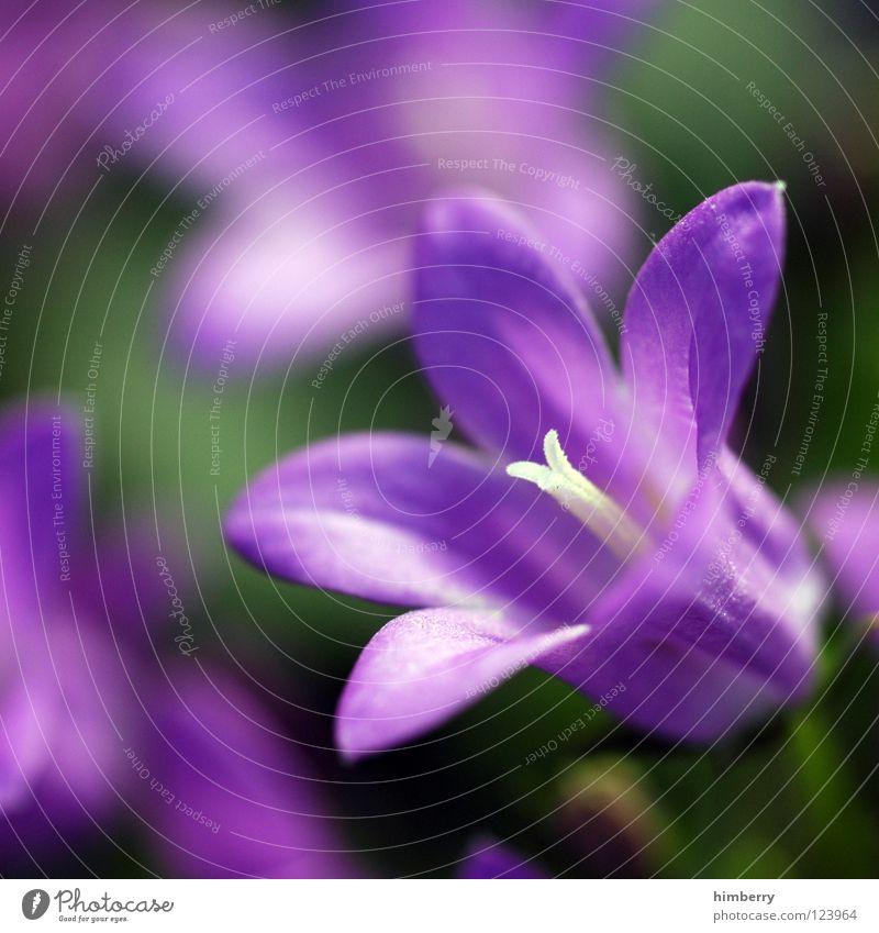 campanulacase Natur Pflanze schön Farbe weiß Sommer rot Blume Frühling Blüte Hintergrundbild Feste & Feiern Wachstum frisch Blütenknospen Botanik