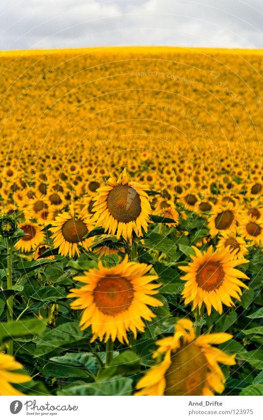 Sonnenblumenfeld III Wolken Feld Blume Sommer gelb weiß Frühling Horizont Landwirtschaft fleißig Arbeit & Erwerbstätigkeit Fröhlichkeit Freundlichkeit frisch