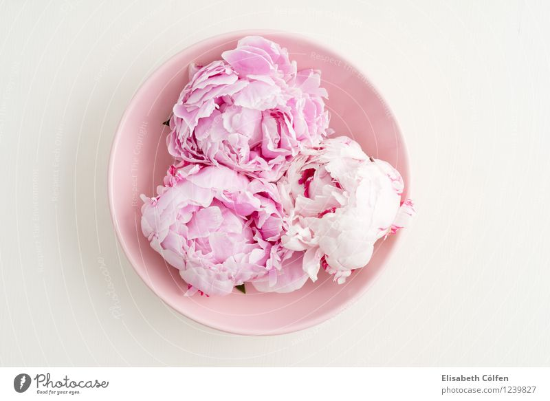 Drei Pfingstrosen Schalen & Schüsseln Dekoration & Verzierung Blume Blüte rosa in voller Blüte blühen Pastellton Blumenarrangement Wellness Farbfoto