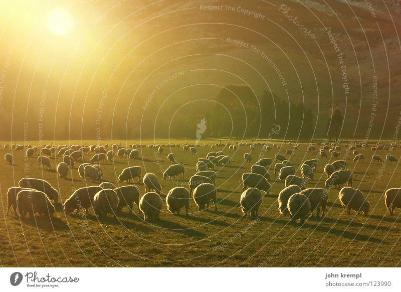 abendschäfchen Natur Sonne Wiese Gras Weide Schaf sanft Fressen Säugetier Abendessen Mahlzeit Neuseeland Lamm nachsichtig Sogn og Fjordane