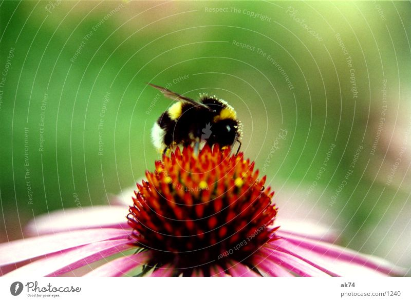 Hummel Blüte Roter Sonnenhut rosa Blume Insekt Sommer Sammlung Makroaufnahme Blühend
