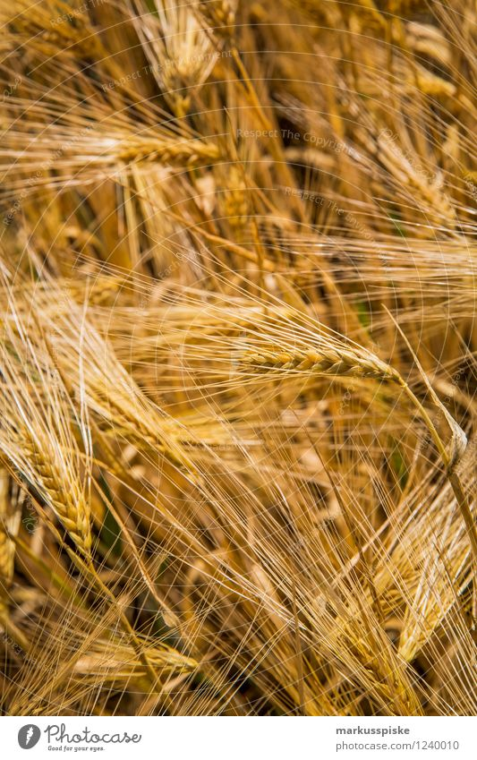 getreide gentechnikfrei Lebensmittel Getreide Ernährung Bioprodukte Vegetarische Ernährung Diät Fasten Slowfood Weizen Gerste Ähren Hafer harmonisch Wohlgefühl