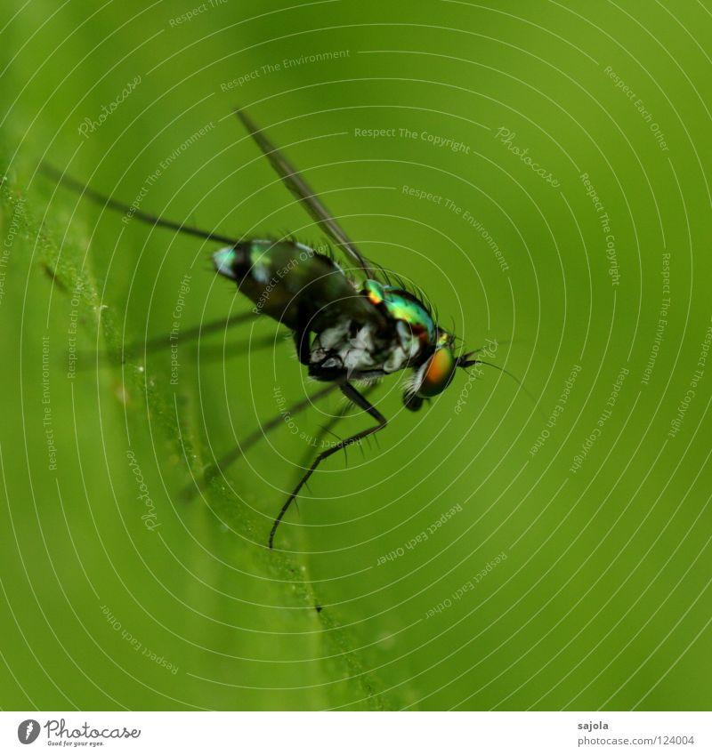 stelzenbeinfliege II Urwald Fliege Flügel dünn Insekt Facettenauge Singapore Asien Seite schillernd Pfosten Nahaufnahme Makroaufnahme Blatt Beine Tier