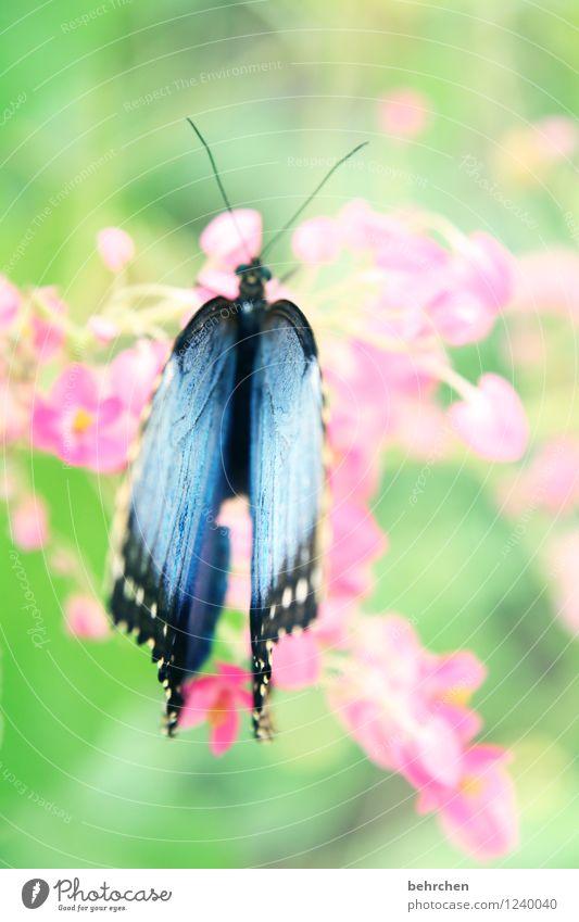 himmelblau auf mädchenrosa Natur Pflanze Tier Frühling Sommer Schönes Wetter Blume Blatt Blüte Garten Park Wiese Wildtier Schmetterling Flügel 1 beobachten
