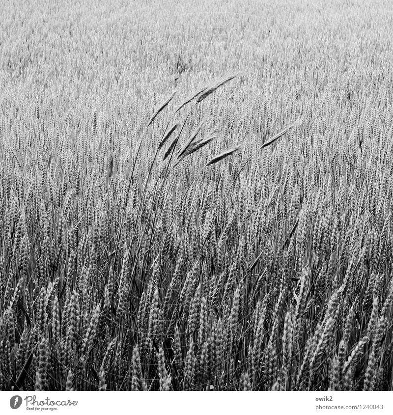 Bö Landwirtschaft Umwelt Natur Landschaft Pflanze Nutzpflanze Getreidefeld Weizen Weizenfeld Weizenähre Halm Feld Bewegung stehen Wachstum dünn viele Freude
