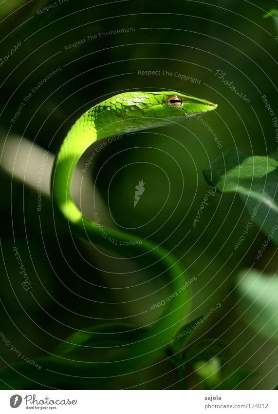 'kurvenreich' Tier Baum Schlange grün Natter Reptil Rückzug Singapore Asien Schlitz Schlüsselloch Gift Botanischer Garten Kurve Nahaufnahme Makroaufnahme