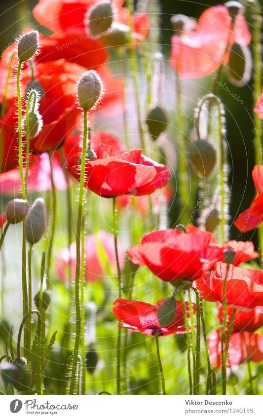 Rote Mohnblumen im Sommergarten Natur Pflanze grün Farbe Sonne Blume rot Landschaft Wiese Gras Garten Kunst Design wild Dekoration & Verzierung